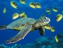 Is BP burning endangered sea turtles?